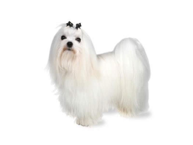 maltese dogs